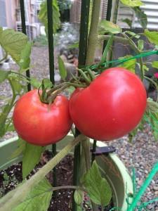 7月18日のトマト