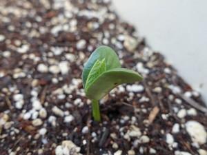 5月31日の枝豆